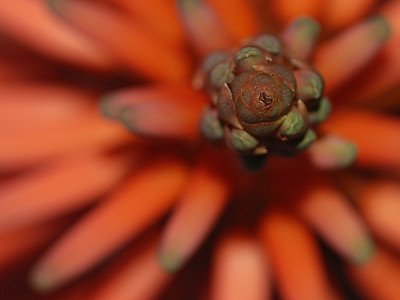 Bird's-eye view of an Aloes flower