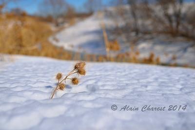 Chardon d'hiver
