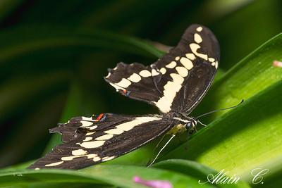 Papilio thoas